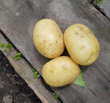 Картофель сорт ГАЛА, 1 кг.